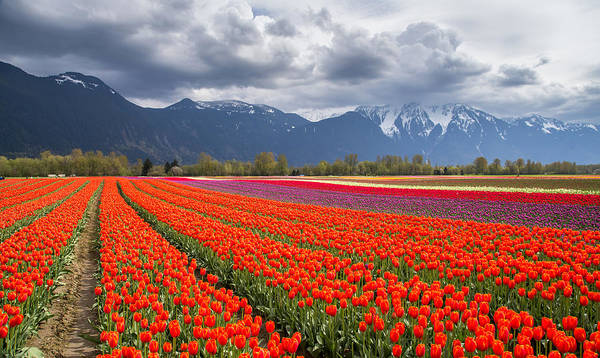 Photograph - Tulip Field In Agassiz British Columbia by Pierre Leclerc Photography