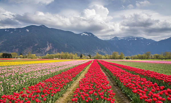 Photograph - Tulip Field In The Mountains by Pierre Leclerc Photography