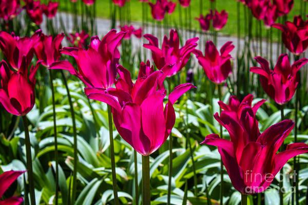 Holland Mi Digital Art - Tulip Field In Windmill Garden Holland Mi by Georgianne Giese