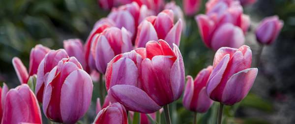 Photograph - Tulip Field by Mary Jo Allen