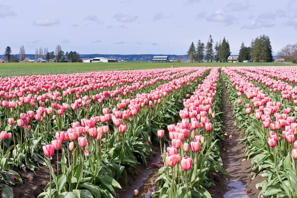 Photograph - Tulip Field by Priya Ghose