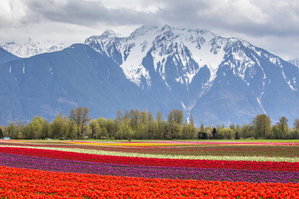 Photograph - Tulip Field Surrounded By Snow Capped Mountains by Pierre Leclerc Photography
