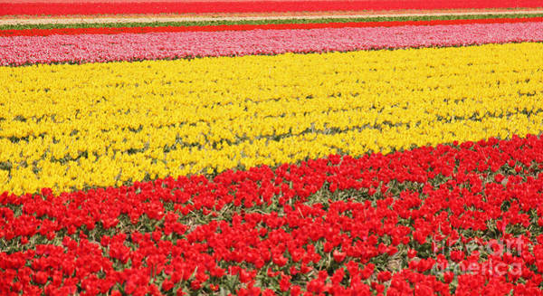 Dutch Tulip Photograph - Tulip Fields 1 by Jasna Buncic