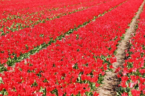 Dutch Tulip Photograph - Tulip Fields 3 by Jasna Buncic