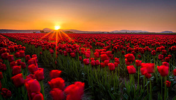 Photograph - Tulip Fields by Alexis Birkill