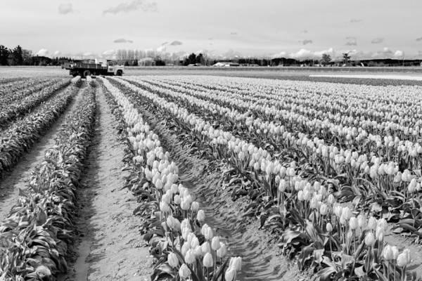 Photograph - Tulip Fields In Spring 2 by Priya Ghose