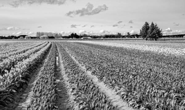 Photograph - Tulip Fields In Spring 3 by Priya Ghose