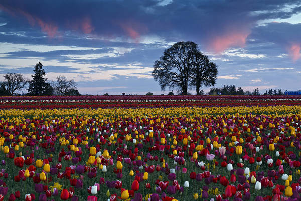 Photograph - Tulip Field's Last Colors by Wes and Dotty Weber