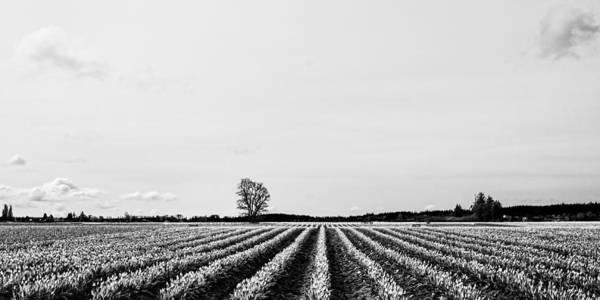Photograph - Tulip Fields  by Priya Ghose