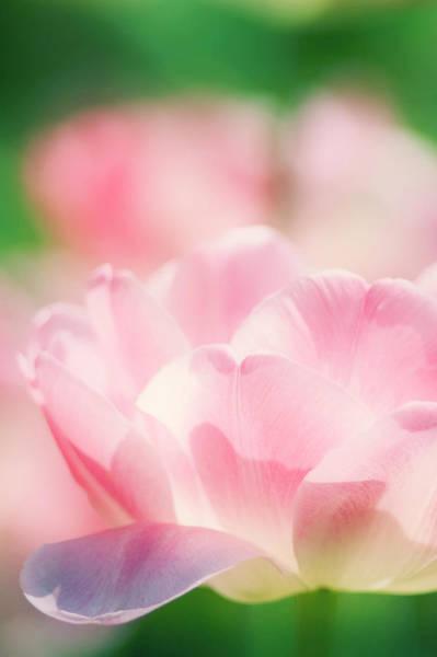 Tulipa Photograph - Tulip Flower by Maria Mosolova/science Photo Library