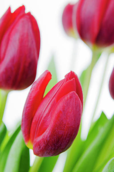 Tulipa Photograph - Tulip Flowers (tulipa Sp.) by Gustoimages/science Photo Library