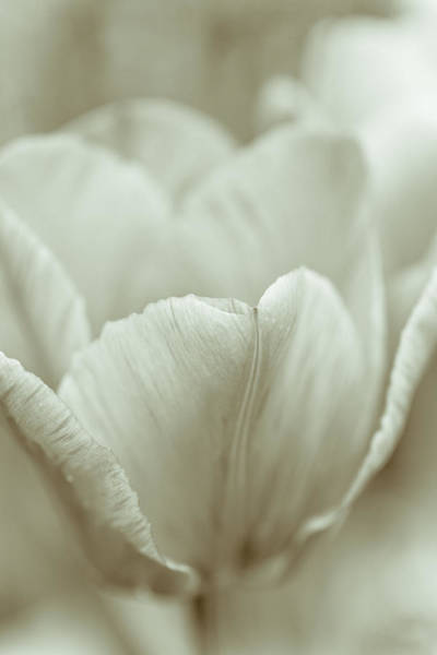 Cottage Style Wall Art - Photograph - Tulip by Frank Tschakert