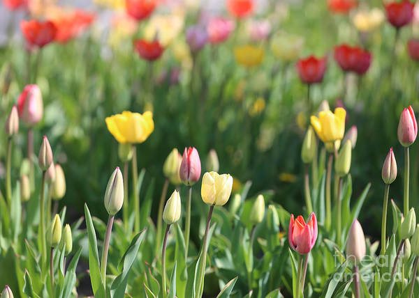 Photograph - Tulip Garden by Carol Groenen