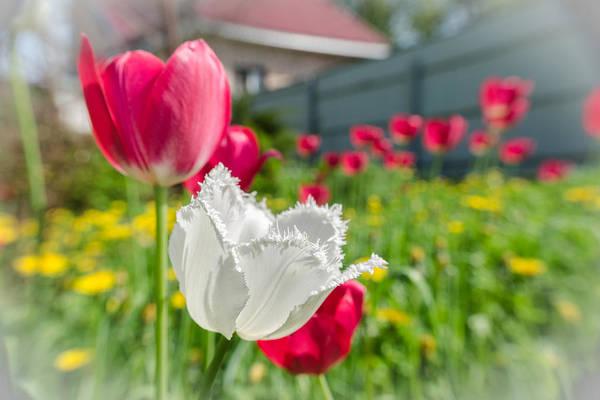 Photograph - Tulip Garden by Michael Goyberg