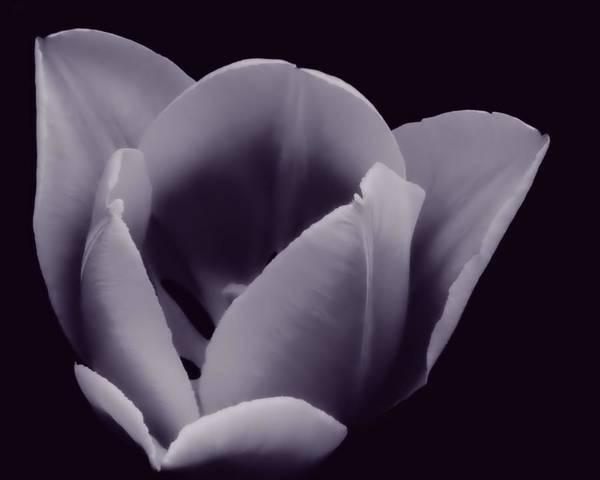 Tulip In Black And White Art Print