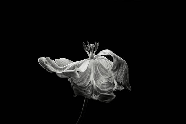 Monochrome Photograph - Tulip by Lotte Gr?nkj?r