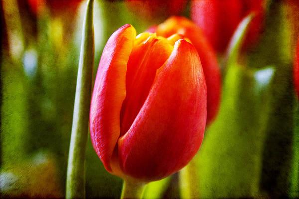 Photograph - Tulip Loveliness by Milena Ilieva