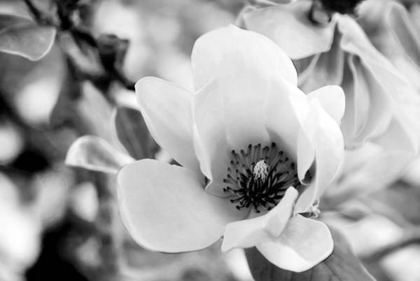 Photograph - Tulip Magnolia by Beverly Stapleton