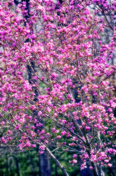 Saucer Magnolia Photograph - Tulip Magnolia (magnolia Soulangiana) by Maria Mosolova/science Photo Library