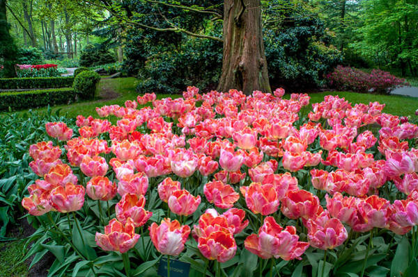 Queens Birthday Photograph - Tulip Marvel Among The Forest. Keukenhof. Netherlands by Jenny Rainbow