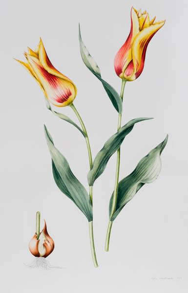 Bulbs Painting - Tulip Mona Lisa by Sally Crosthwaite