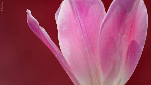 Photograph - Tulip On Red by Alexander Fedin