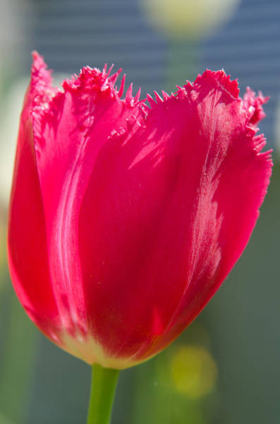 Photograph - Tulip On The Gray Background by Michael Goyberg
