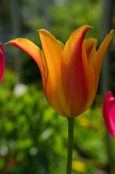 Photograph - Tulip On The Green Background by Michael Goyberg