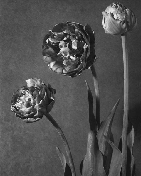 Flower Petals Photograph - Tulip Pensee Roses by Walter Beebe Wilder