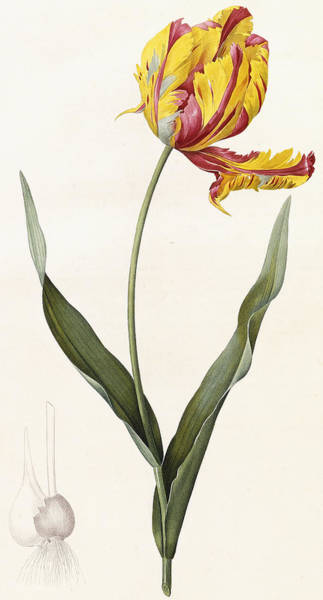 Plant Reproduction Painting - Tulip by Pierre Joseph Redoute