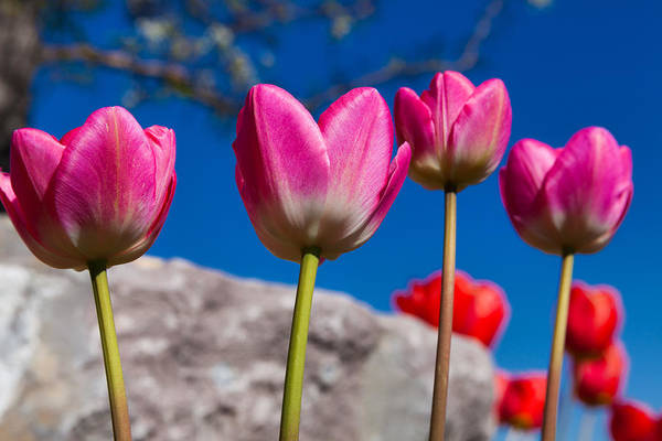 Vibrant Color Wall Art - Photograph - Tulip Revival by Chad Dutson