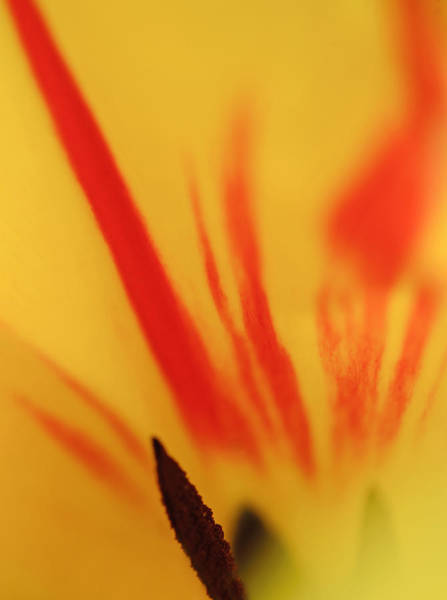 Photograph - Tulip by Robert Mitchell
