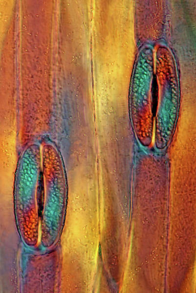 Plant Anatomy Wall Art - Photograph - Tulip Stomata by Marek Mis