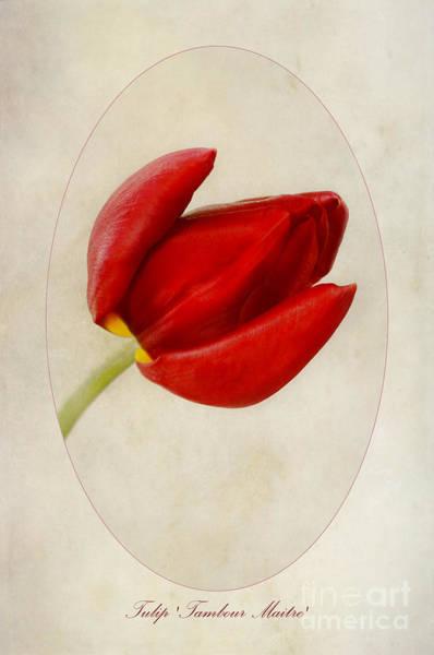 Tulipa Photograph - Tulip Tambour Maitre by John Edwards