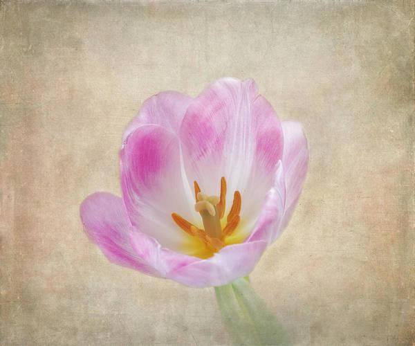 Photograph - Tulip Time by Kim Hojnacki