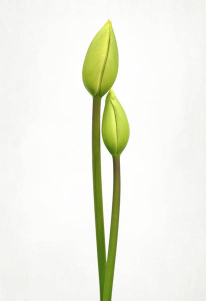 Simple Wall Art - Photograph - Tulip Time by Lotte Gr??nkj??r