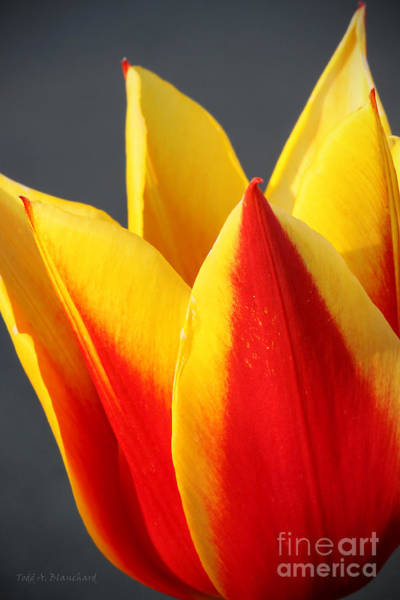 Photograph - Tulip by Todd Blanchard