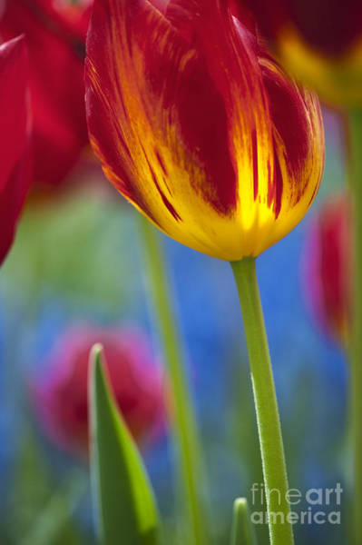 Keukenhof Wall Art - Photograph - Tulip Triumph Yomako Abstract by Tim Gainey