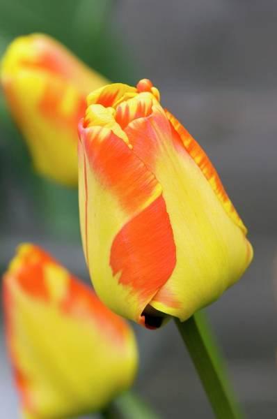 Tulipa Photograph - Tulip (tulipa Sp.) Flower by Adrian Thomas