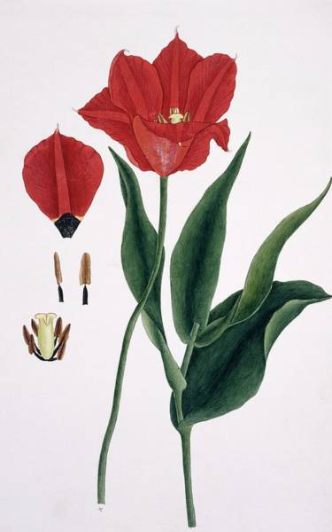 Wall Art - Photograph - Tulip (tulipa Sp.) Flowers by Natural History Museum, London/science Photo Library