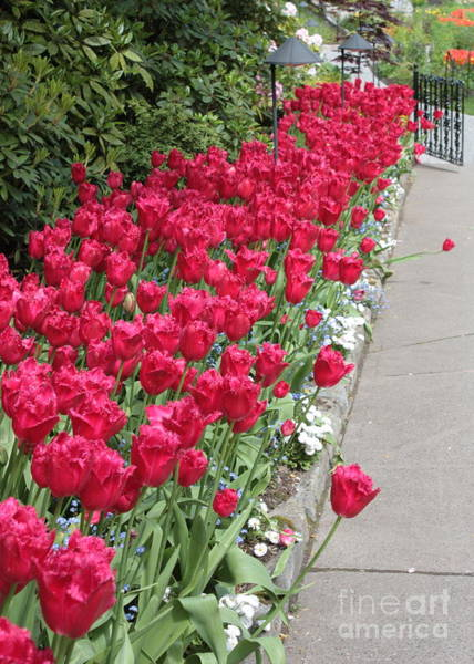 Photograph - Tulip Walkway by Carol Groenen
