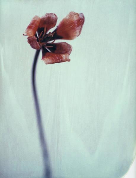 Fragility Photograph - Tulip by Www.hurluber.lu