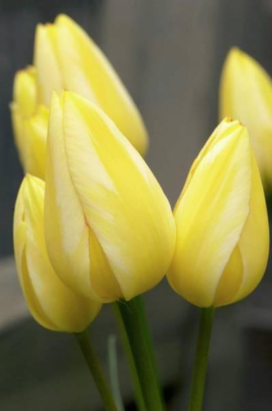 Tulipa Photograph - Tulipa 'antoinette' Flowers by Adrian Thomas