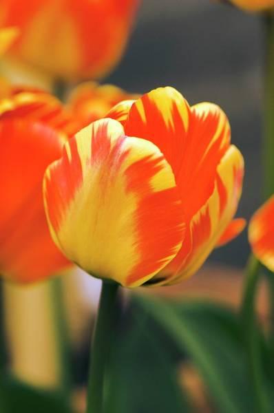 Tulipa Photograph - Tulipa 'banja Luka' Flower by Adrian Thomas