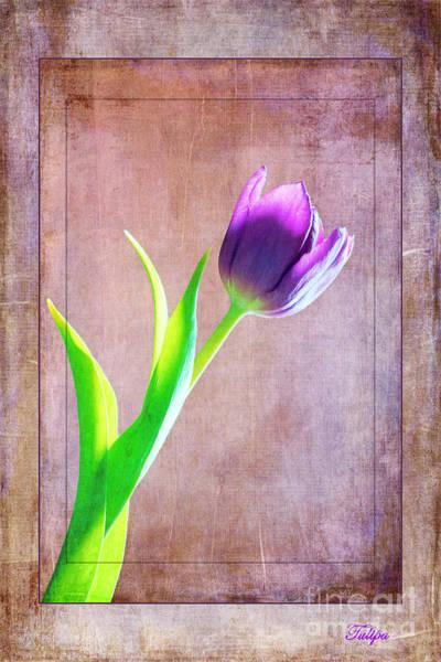 Photograph - Tulipa by David Birchall