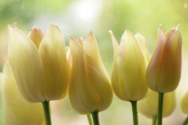 Tulipa Photograph - Tulipa 'elegant Lady' Flowers by Adrian Thomas