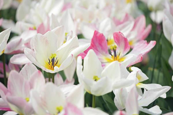 Tulipa Photograph - Tulipa 'flaming Purissima' Flowers by Daniel Sambraus/science Photo Library
