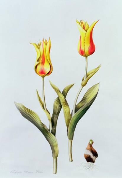 Bulbs Painting - Tulipa Mona Lisa by Sally Crosthwaite