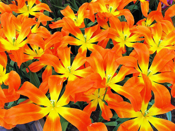 Photograph - Tulips 1 by Gerry Bates