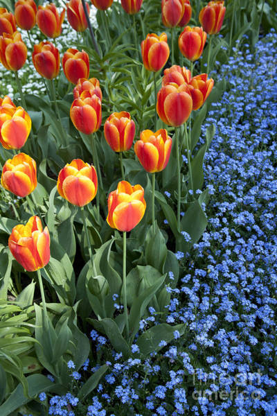 Photograph - Tulips And Forget-me-nots by Heiko Koehrer-Wagner